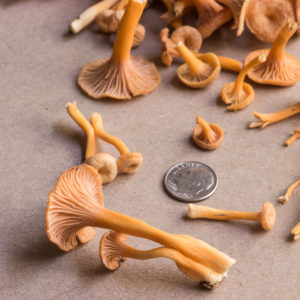 Yellowfoot chanterelles craterellus tubaeformis and friends