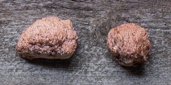 Edible Ramaria botrytis mushrooms