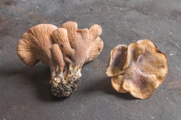 Pseudocraterellus pseudoclavatus, a rare pig ear mushroom or gomphus clavatus growing with oak
