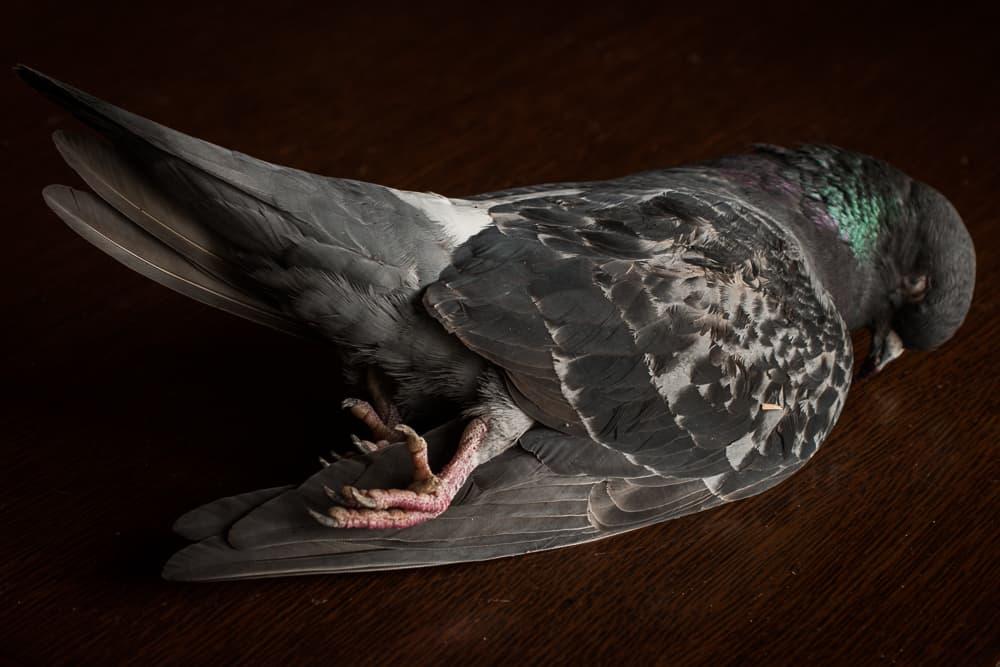 Wild pigeon, squab, or rock dove