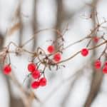 Highbush cranberries from minnesota, Viburnum trilobum