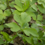 Cyptotaenia canadensis, honewort, wild japanese parsley