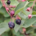 Serviceberry, armelenchier, juneberry, saskatoon, or chuckley pear