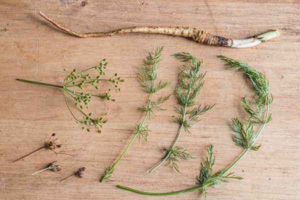 Wild caraway leaves, roots, and seeds