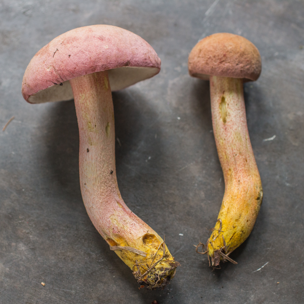 The Chome-footed bolete, or Harrya chromapes, Tylopilus chromapes, Leccinum chromapes