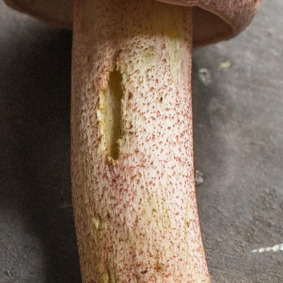 Stem scabers on a chrome-footed bolete