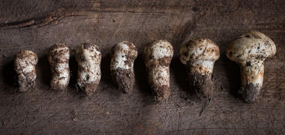 Matsutake mushrooms from Minnesota of varying size