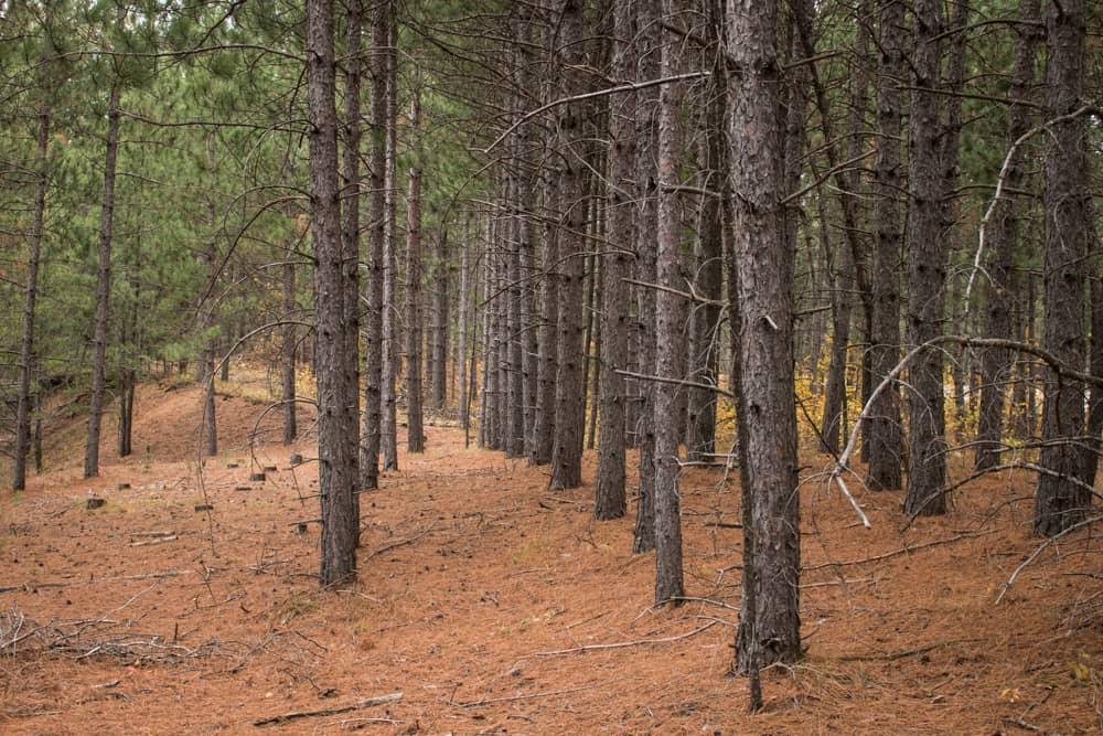 Minnesota matsutake habitat