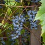 Wild grapes from Minnesota, Vitis riparia