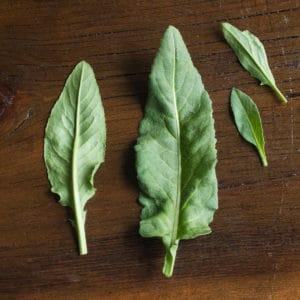 Edible foraged dames rocket leaves or Hesperis matronalis