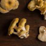 Wild golden oyster mushrooms or Pluerotus citrinopileatus