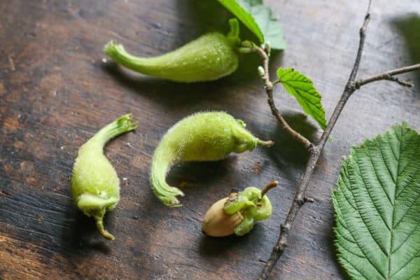 Beaked hazelnuts or Corylus cornuta