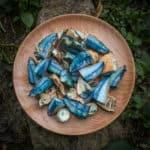 Gyroporus cyanescens or the cornflower bolete, an edible blue staining bolete