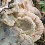 Black staining polypore or Meripilus sumstinei