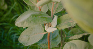Edible milkweed pods