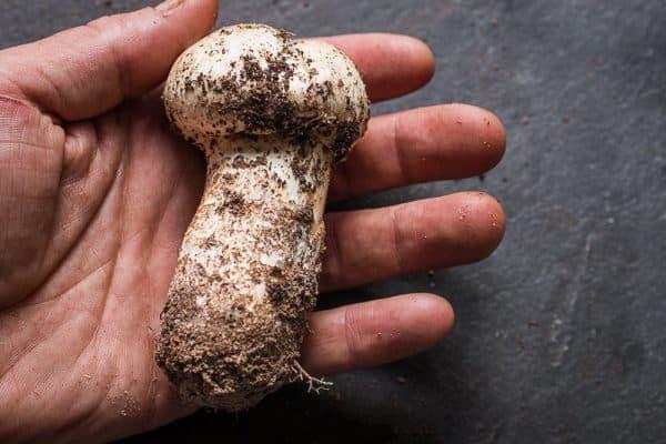 Matsutake mushrooms, Tricholoma magnivelare, from Minnesota