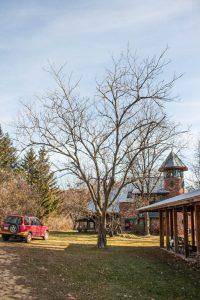 A butternut tree or Juglans cinerea