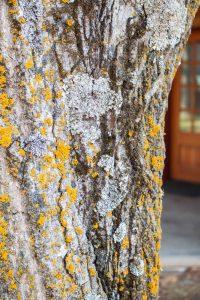 Dying butternut tree