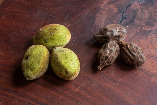 Fresh green butternuts and dried butternuts