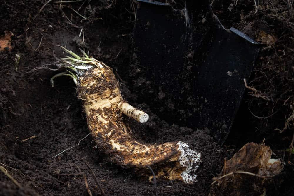 Fresh dug horseradish