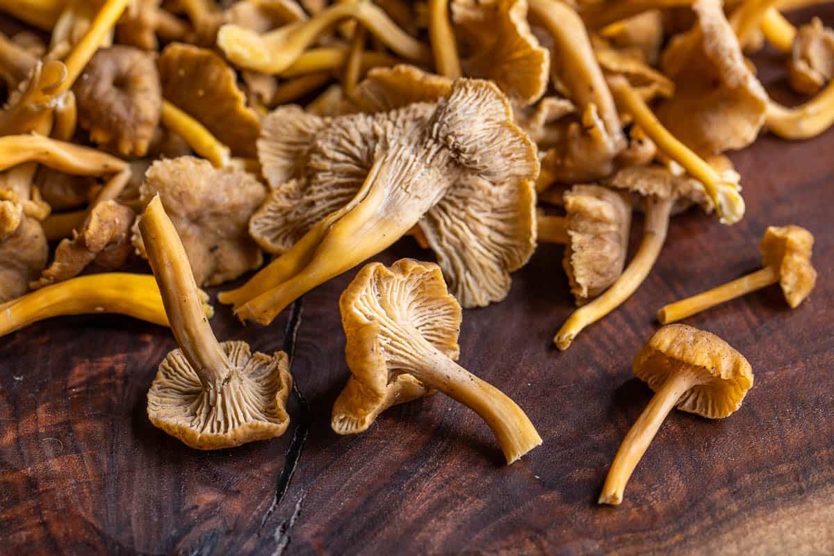 Yellowfoot chanterelles or Craterellus tubaeformis