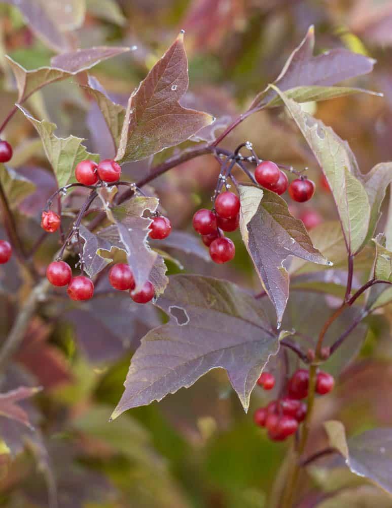 Highbush cranberries Viburnum trilobum